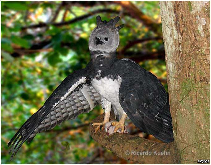 harpy eagle semblance