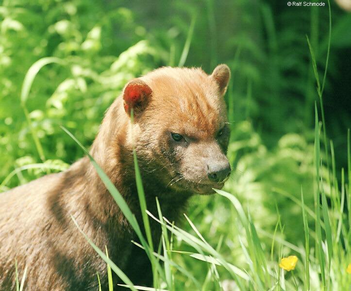 http://www.saveamericasforests.org/Yasuni/Pics/bushdog1.jpg