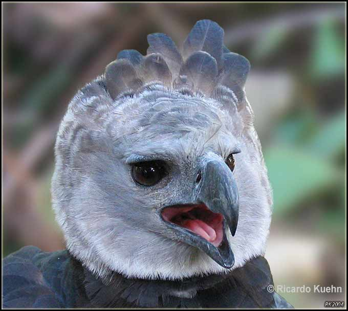 Biodiversity Harpy Eagle